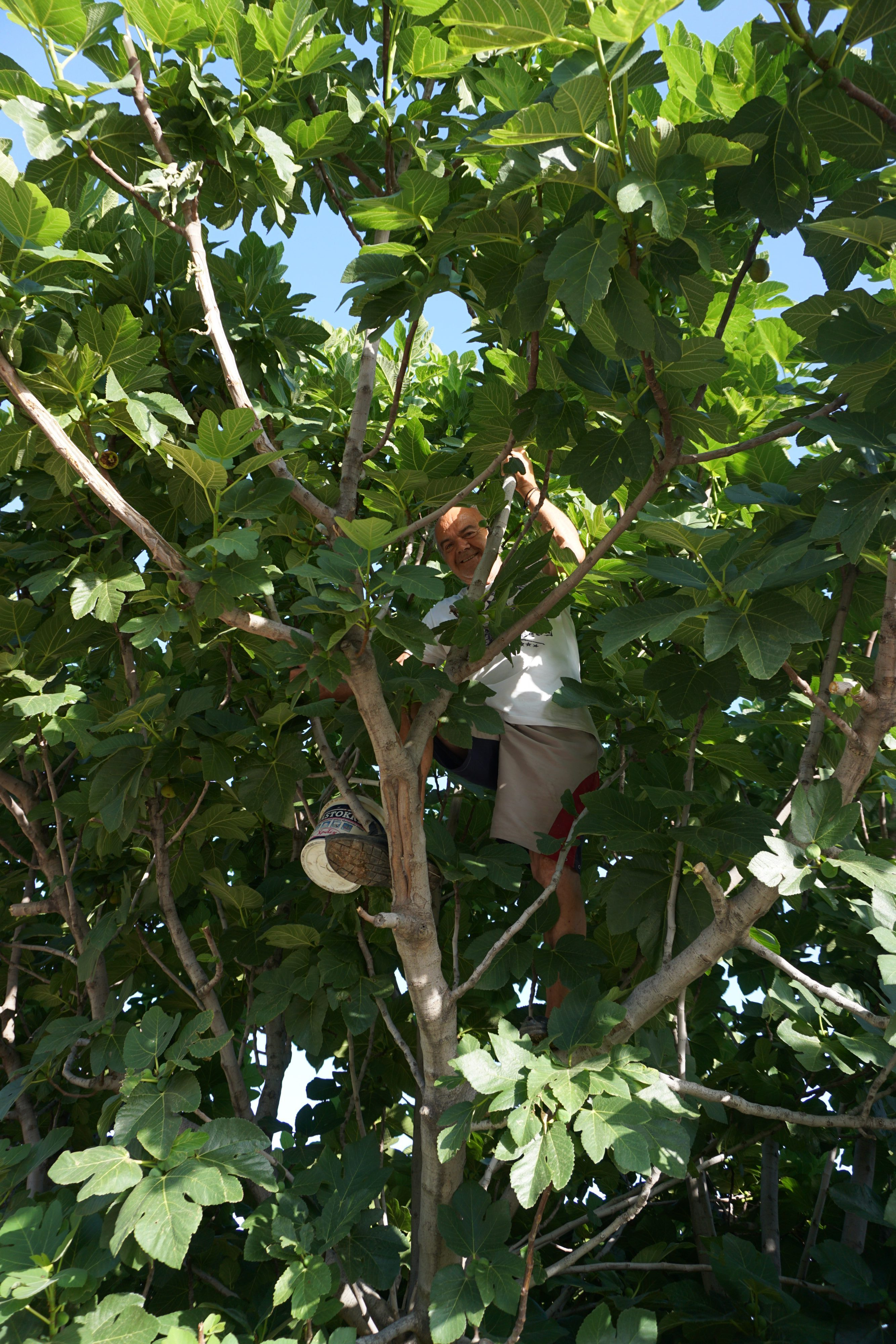 A Man In A Fig Tree