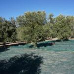 Olive Picking Salakos